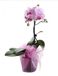 1 dal pembe orkide saksı çiçeği  Elazığ çiçek siparişi vermek