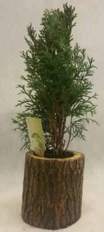 SINIRLI STOK Selvi Bonsai Doğal kütükte  Elazığ 14 şubat sevgililer günü çiçek