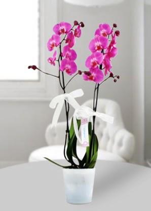 Çift dallı mor orkide  Elazığ çiçek gönderme sitemiz güvenlidir