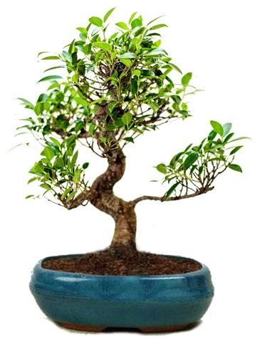 25 cm ile 30 cm aralığında Ficus S bonsai  Elazığ anneler günü çiçek yolla