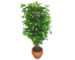 Ficus Benjamin 1,50 cm   Elazığ çiçekçi mağazası