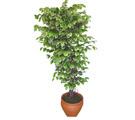 Ficus özel Starlight 1,75 cm   Elazığ çiçek satışı
