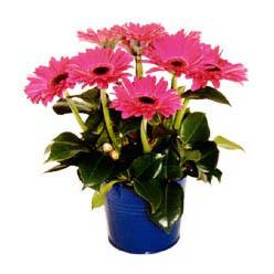 vazo içerisinde gerbera çiçekleri   Elazığ çiçekçi telefonları