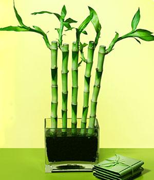 Elazığ çiçekçi mağazası  Good Harmony Lucky Bamboo camda