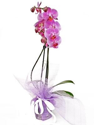 Elazığ çiçekçi mağazası  Kaliteli ithal saksida orkide