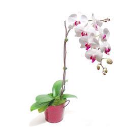 Elazığ çiçek online çiçek siparişi  Saksida orkide