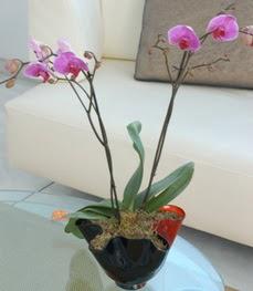 Elazığ online çiçekçi , çiçek siparişi  tek dal ikili orkide saksi çiçegi