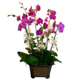Elazığ çiçek satışı  4 adet orkide çiçegi