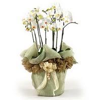 Elazığ çiçek yolla , çiçek gönder , çiçekçi   3 dal orkide , saksi çiçegi , 3 kök orkide