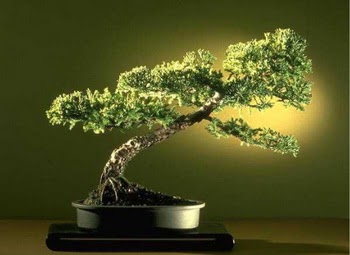 ithal bonsai saksi çiçegi  Elazığ online çiçekçi , çiçek siparişi