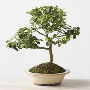 ithal bonsai saksi çiçegi  Elazığ internetten çiçek satışı
