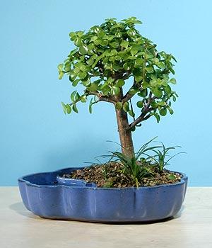 ithal bonsai saksi çiçegi  Elazığ çiçek gönderme sitemiz güvenlidir