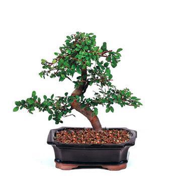 ithal bonsai saksi çiçegi  Elazığ çiçek gönderme