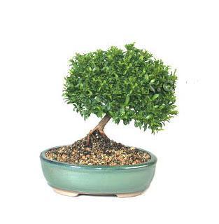 ithal bonsai saksi çiçegi  Elazığ çiçek , çiçekçi , çiçekçilik