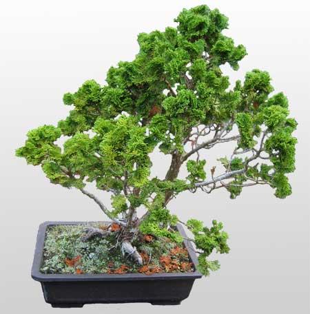 ithal bonsai saksi çiçegi  Elazığ 14 şubat sevgililer günü çiçek
