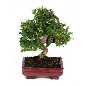 ithal bonsai saksi çiçegi  Elazığ çiçekçi mağazası