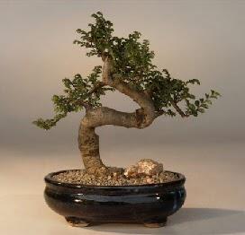 ithal bonsai saksi çiçegi  Elazığ hediye çiçek yolla
