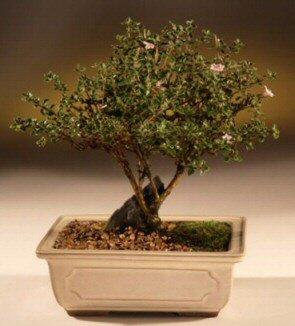 ithal bonsai saksi çiçegi  Elazığ internetten çiçek siparişi
