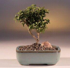 Elazığ hediye sevgilime hediye çiçek  ithal bonsai saksi çiçegi  Elazığ İnternetten çiçek siparişi