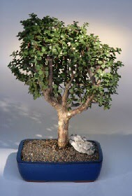 Elazığ çiçek online çiçek siparişi  ithal bonsai saksi çiçegi  Elazığ çiçek gönderme sitemiz güvenlidir