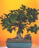 Elazığ çiçek servisi , çiçekçi adresleri  ithal bonsai saksi çiçegi  Elazığ çiçek yolla
