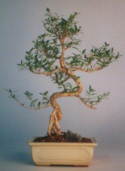 Elazığ çiçek mağazası , çiçekçi adresleri  ithal bonsai saksi çiçegi  Elazığ çiçek gönderme