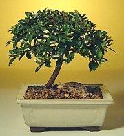 Elazığ güvenli kaliteli hızlı çiçek  ithal bonsai saksi çiçegi  Elazığ çiçek satışı