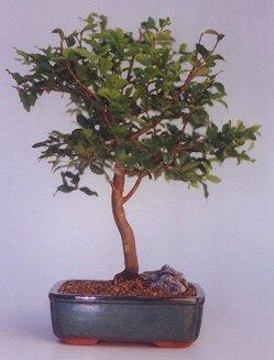 Elazığ güvenli kaliteli hızlı çiçek  ithal bonsai saksi çiçegi  Elazığ çiçekçi mağazası