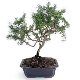 ithal bonsai saksi çiçegi  Elazığ çiçek servisi , çiçekçi adresleri