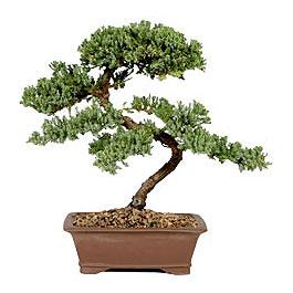 ithal bonsai saksi çiçegi  Elazığ anneler günü çiçek yolla