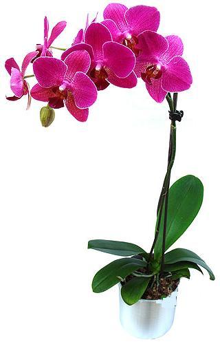 Elazığ online çiçekçi , çiçek siparişi  saksi orkide çiçegi