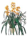 Elazığ çiçek gönderme sitemiz güvenlidir  Orchiede ithal büyük boy saksi