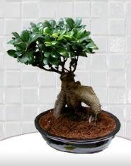 saksı çiçeği japon ağacı bonsai  Elazığ çiçek siparişi vermek
