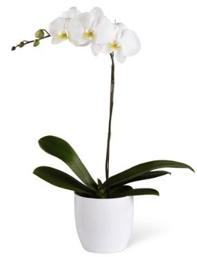 1 dallı beyaz orkide  Elazığ hediye çiçek yolla