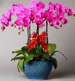 7 dallı mor orkide  Elazığ internetten çiçek satışı