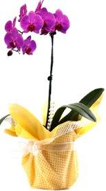 Elazığ çiçek yolla , çiçek gönder , çiçekçi   Tek dal mor orkide saksı çiçeği
