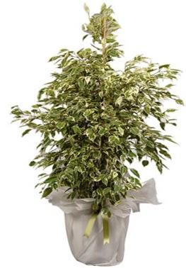 Orta boy alaca benjamin bitkisi  Elazığ İnternetten çiçek siparişi