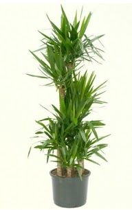 7 li yucca saksı bitkisi  Elazığ çiçekçiler