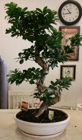 100 cm yüksekliğinde dev bonsai japon ağacı  Elazığ 14 şubat sevgililer günü çiçek