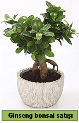 Ginseng bonsai japon ağacı satışı  Elazığ çiçek servisi , çiçekçi adresleri