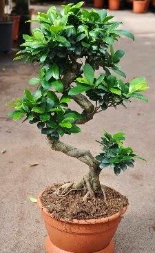 Orta boy bonsai saksı bitkisi  Elazığ çiçek yolla