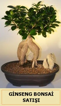 İthal Ginseng bonsai satışı japon ağacı  Elazığ çiçek yolla , çiçek gönder , çiçekçi