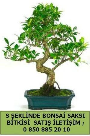 İthal S şeklinde dal eğriliği bonsai satışı  Elazığ çiçek online çiçek siparişi