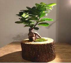Doğal kütükte Bonsai japon ağacı satışı  Elazığ İnternetten çiçek siparişi