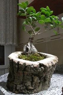 Ahşap kütük içerisinde ginseng bonsai  Elazığ çiçek yolla