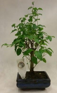 Minyatür bonsai japon ağacı satışı  Elazığ çiçek servisi , çiçekçi adresleri