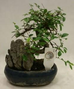 İthal 1.ci kalite bonsai japon ağacı  Elazığ çiçek mağazası , çiçekçi adresleri