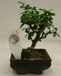 Küçük minyatür bonsai japon ağacı  Elazığ çiçek online çiçek siparişi