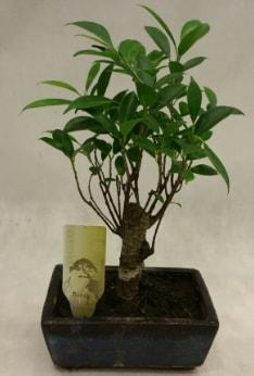 Japon ağacı bonsai bitkisi satışı  Elazığ çiçek servisi , çiçekçi adresleri