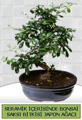 Seramik vazoda bonsai japon ağacı bitkisi  Elazığ çiçek yolla , çiçek gönder , çiçekçi